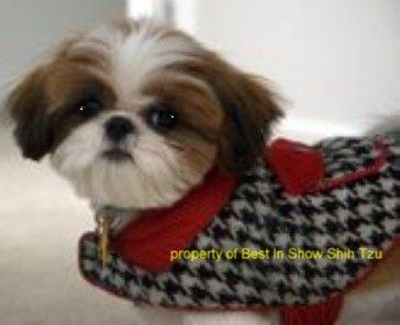 I am a georgia shih tzu breeder supplying healthy happy puppies in a home enviroment,akc shih tzu breeder in ga,shih tzu puppies for sale