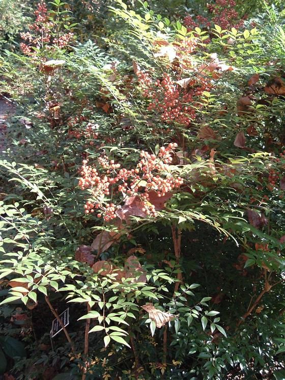 Heavenly bamboo nandina domesticata upright shrub great for Easy maintenance bushes