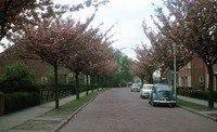 burgemeester Bramerstraat met die mooie bomen met roze bloezems