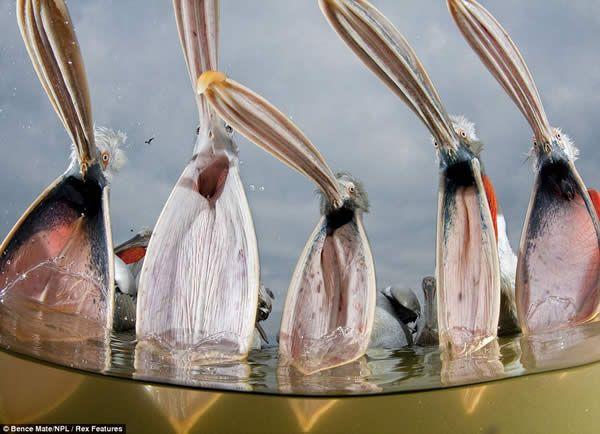 Pelicans Yawning