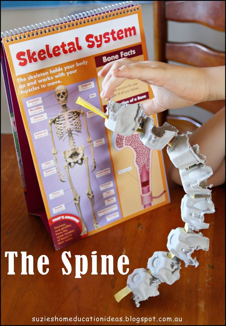 Cool way to teach kids about the spine. Make egg carton discs. Bones science