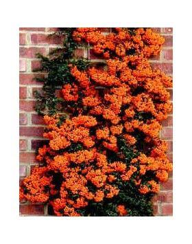 Pyracantha x Orange Charmer - Narancsbogyójú tűztövis