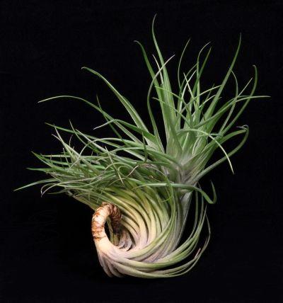 Plant Oddities-Tillandsia montana Giant