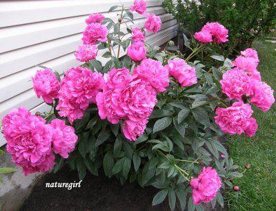 My favorite flowering shrub. Hopefully mine will bloom this year.