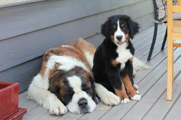 Bernese Mountain Dog puppy and Saint Bernard