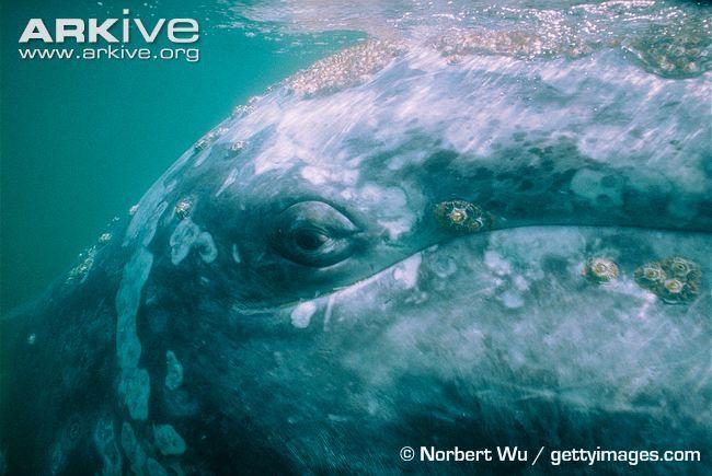 Gray whale eye - Norbert Wu