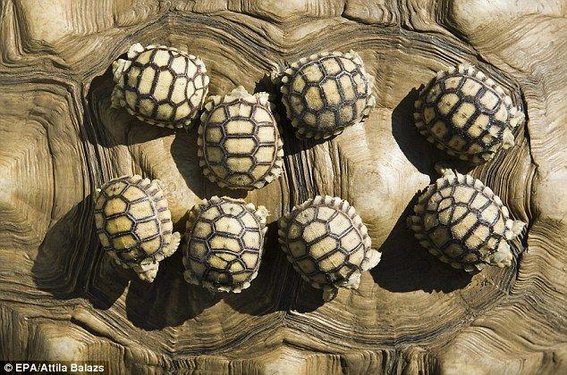 Tortoise babies.