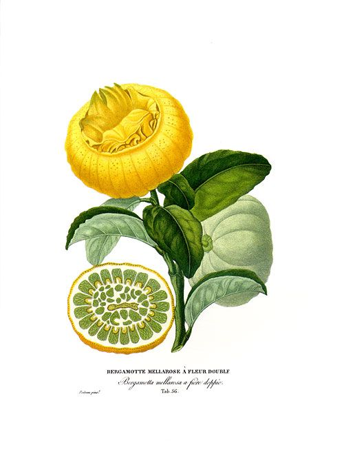 """During citrus season in France, if you're lucky, you'll run across something called a Bergamot. They're not brilliant yellow like regular lemons, but a sort of orangey color, and when split open, they're quite juicy and the flavor is much sweeter than regular lemons. In fact, they often call them citrons doux, which translates to """"sweet lemons."""""""