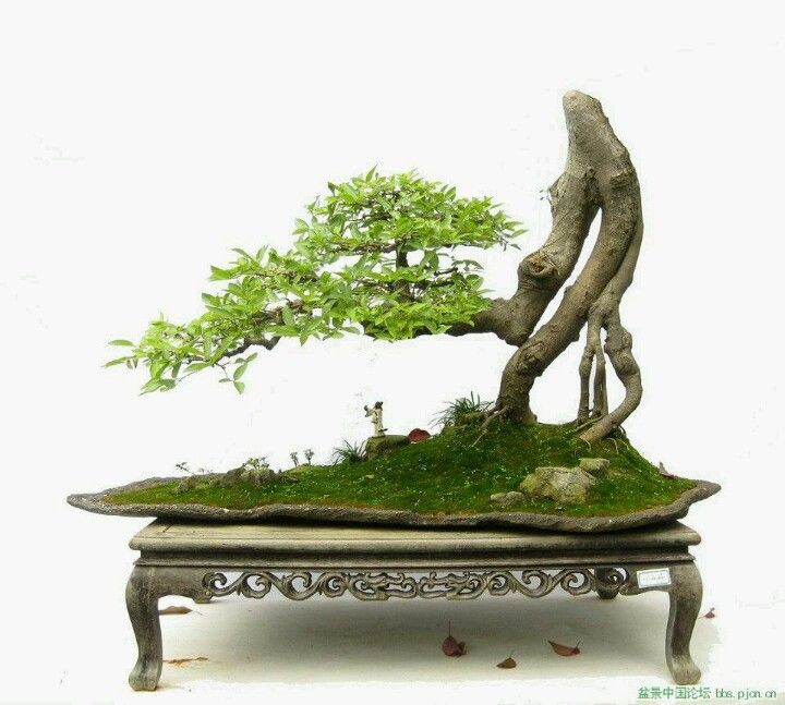 Bonsai kh u trang than for Literati bonsai gallery