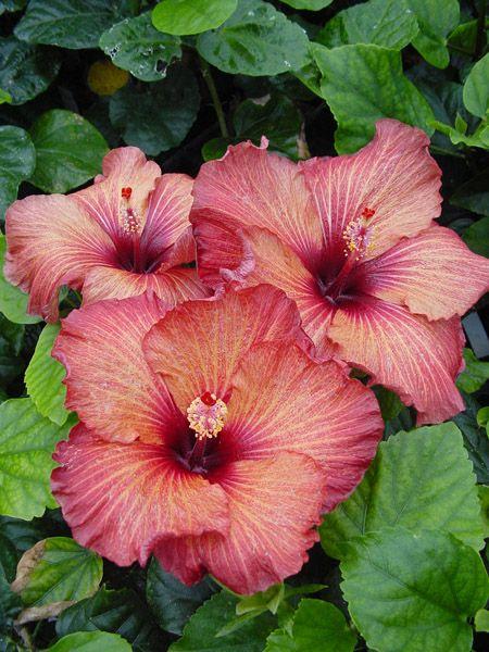 Hibiscus 'Mahogany Star'