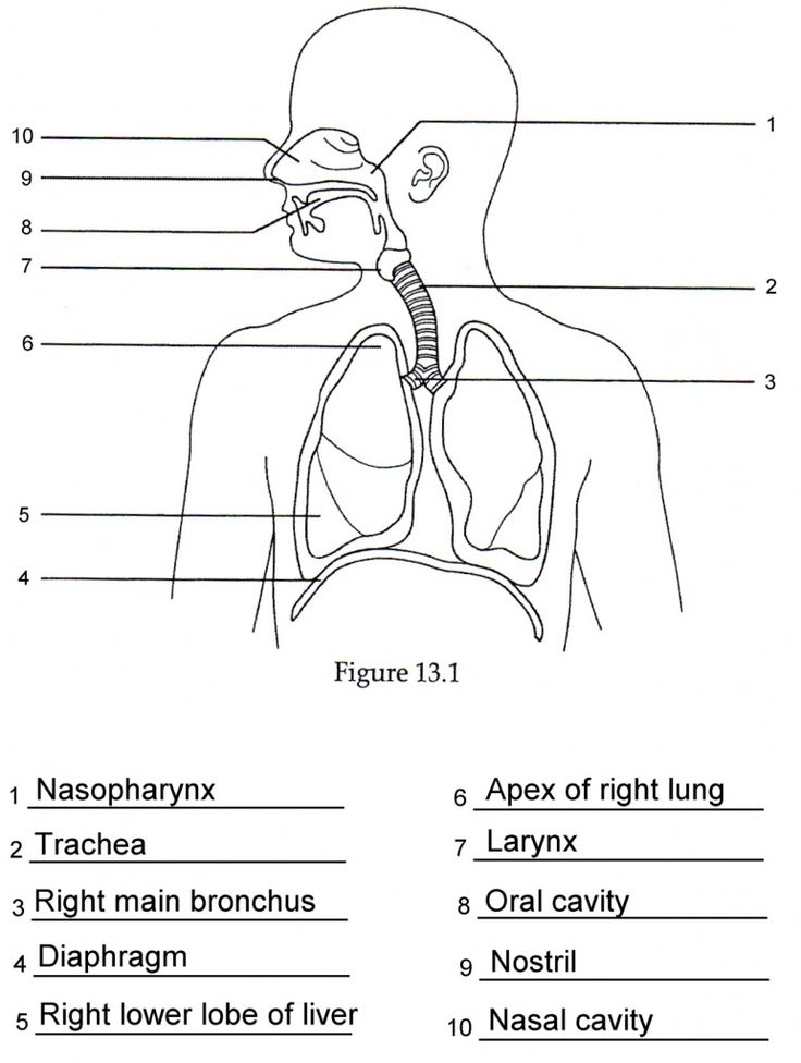 Human anatomy labeling worksheets respiratory anatomy for Anatomy and physiology coloring workbook page 78