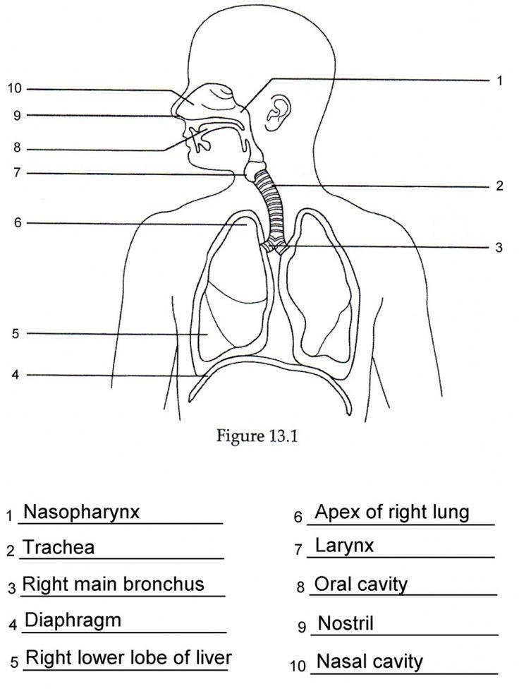 image result for anatomy labeling worksheets anatomy and. Black Bedroom Furniture Sets. Home Design Ideas