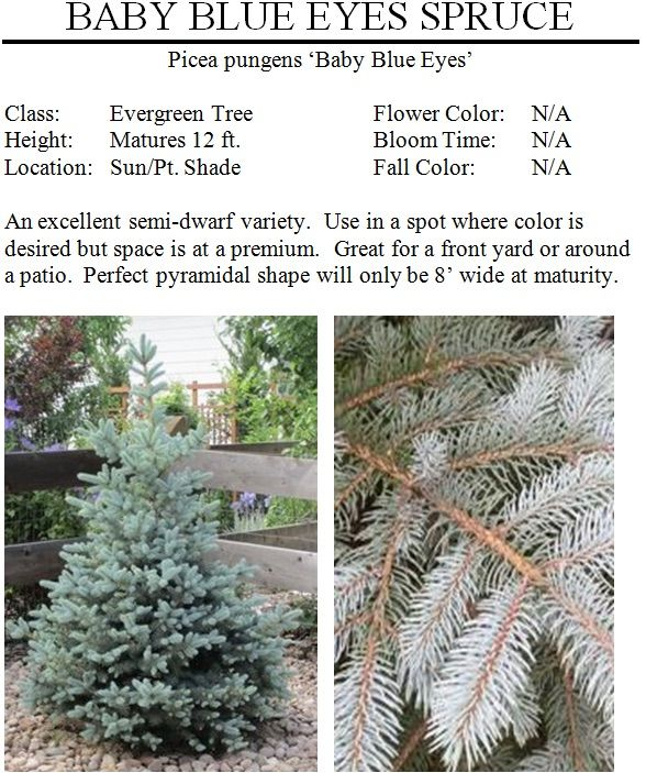 Spruce Baby Blue Eyes Shade Flowers Front Yard Landscaping Blue Spruce