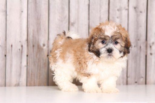 Zuchon puppy for sale in MOUNT VERNON, OH. ADN-29183 on PuppyFinder.com Gender: Male. Age: 8 Weeks Old
