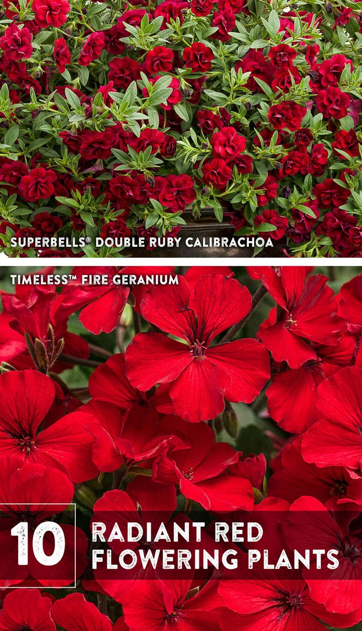10 Radiant Red Plants Red Plants Red Perennials Red Flowers Garden