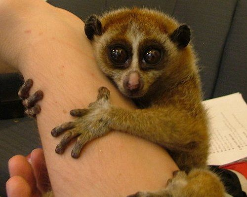 Slow loris: 15 cute animals that could kill you. It has poison. In its elbows. Rad.