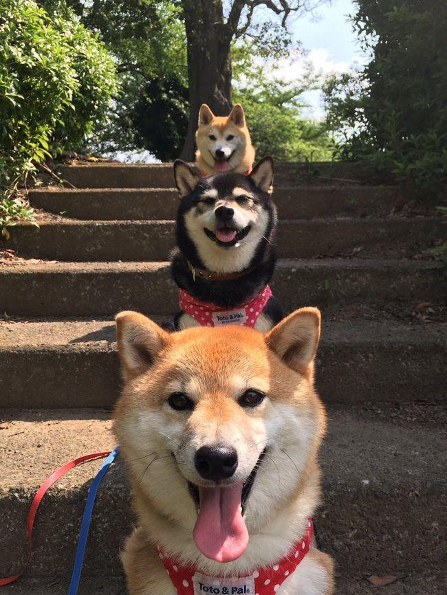 Shiba Inu dog lover