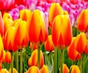 Cuándo plantar tulipanes