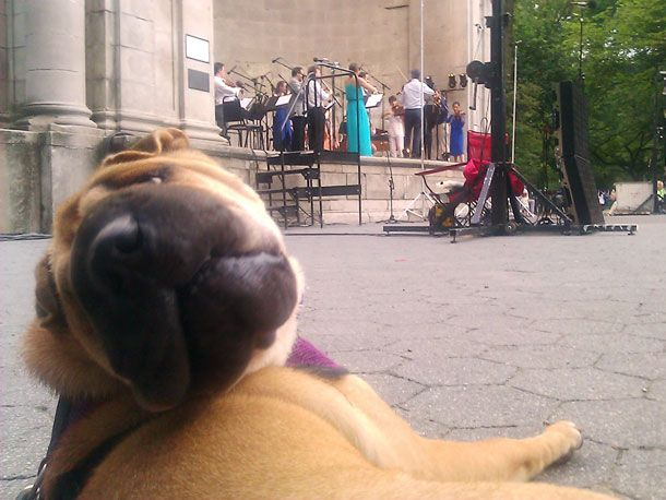 Kenji and Erin headed out to Central Park on Tuesday night for a picnic with the pups to watch Kenji's sister's orchestra The Knights perform. Hambone was trying to tell us that she just hit a wrong note.: Central Park