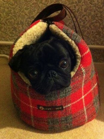 snug as a bug..or a black pug