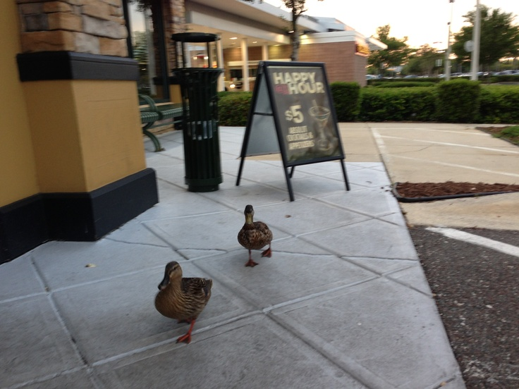 Ducks leaving Ruby Tuesday's after Happy Hour as we went in to have dinner.