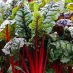Mangold – Anbau und Pflege im Garten - Gartenratgeber.net