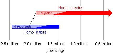 The earliest Homo erectus were contemporaries of the late Homo habilis in East Africa. This suggests that the immediate ancestor of Homo erectus was an early Homo habilis or possibly another yet to be discovered. Because they successfully lasted very long (1.5 million years), some of them eventually evolved into our species, Homo sapiens.