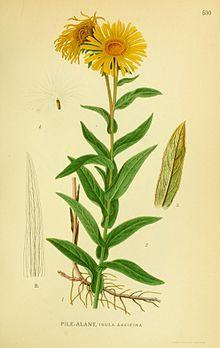 Weidenblättriger Alant – Wikipedia