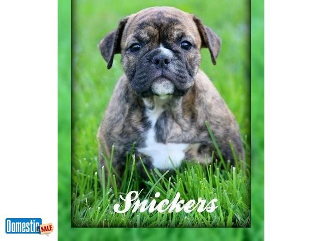 Snickers Female Akc English Bulldog Puppy Hey There I M Snickers