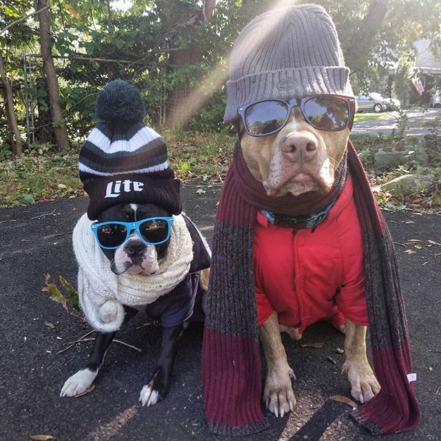 """""""When da tempature drops below 50 degrees and you have overprotective parents"""" ❤🐾✌❄ #Tango #tangomunch #Poukie #poukiemonster #accessories #fall #toomuch #dogsofinstagram #dogs #dogsofig #pitbullsofinstagram #dog #pitbullgram_ #pitbullinstagram #tangs #rednose #endbsl #brindle #ruffpost #pitbull #pitbulls #pittie #pits #bostonterriersofinstagram #bostie #bostonterrier #bostonterrierlove #animals #winteriscoming #brothers"""
