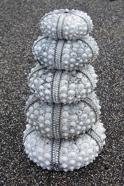 Sea Urchins by 3weimwoman  looks like some type of jewel