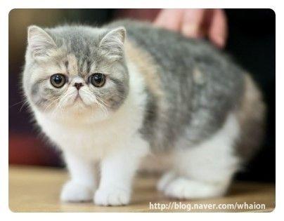 페르시안 고양이 키우기 전,성격 종류 사진 : 네이버 블로그