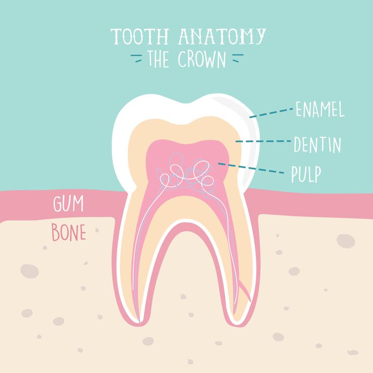 Teeth aren't just all hard enamel! The soft tissue inside is full of nerves and nourishes the tooth.