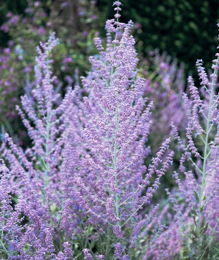 Russian Sage (Perovskia atiplicifolia) | Two experts share their favorite drought-tolerant plants that will make your life easier (and help you save water)! Read More at: space-gardens.blogspot.com