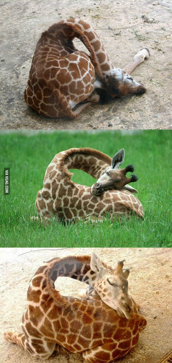This is how giraffes sleep - 9GAG