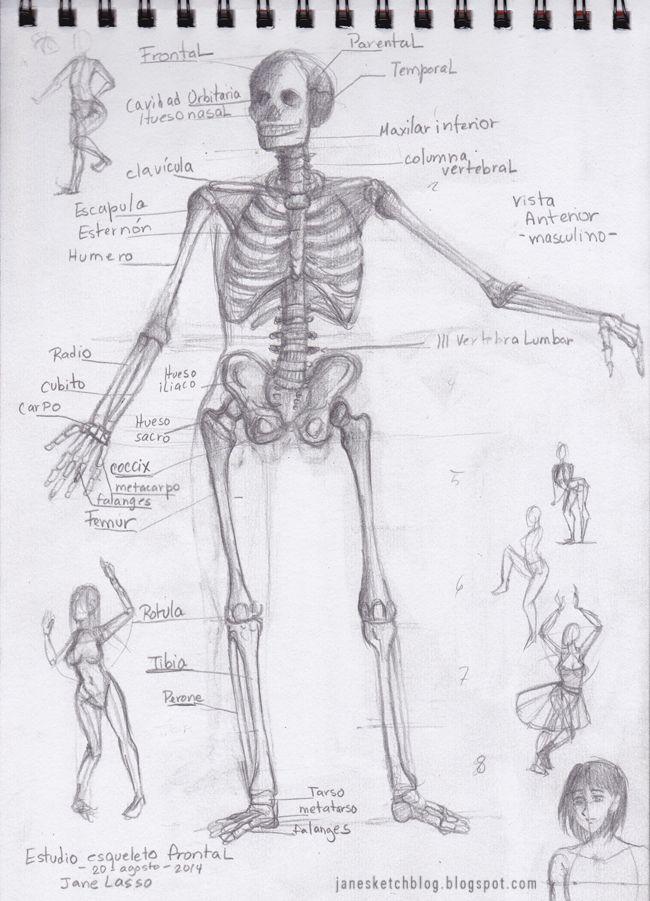 Dibujo de esqueleto humano. Human skeleton anatomy study.  #drawing #bones #anatomy