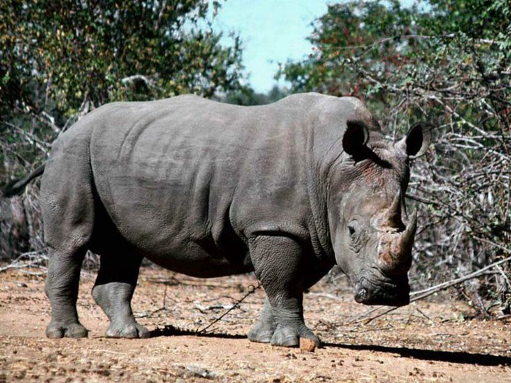 african rhino.  despite appearances rhinos can be deadly and will charge at the first sign of danger