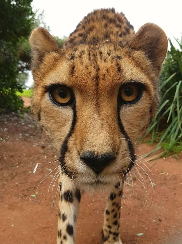 """""""Look into my eyes.""""   Keeper Paul snapped this mesmerising image of cheetah Kulinda. Did you know that small cats have a slit pupil and that big cats have a round pupil? Learn more fascinating facts about the fastest animal on land: zoo.org.au/werribee/animals/cheetah"""