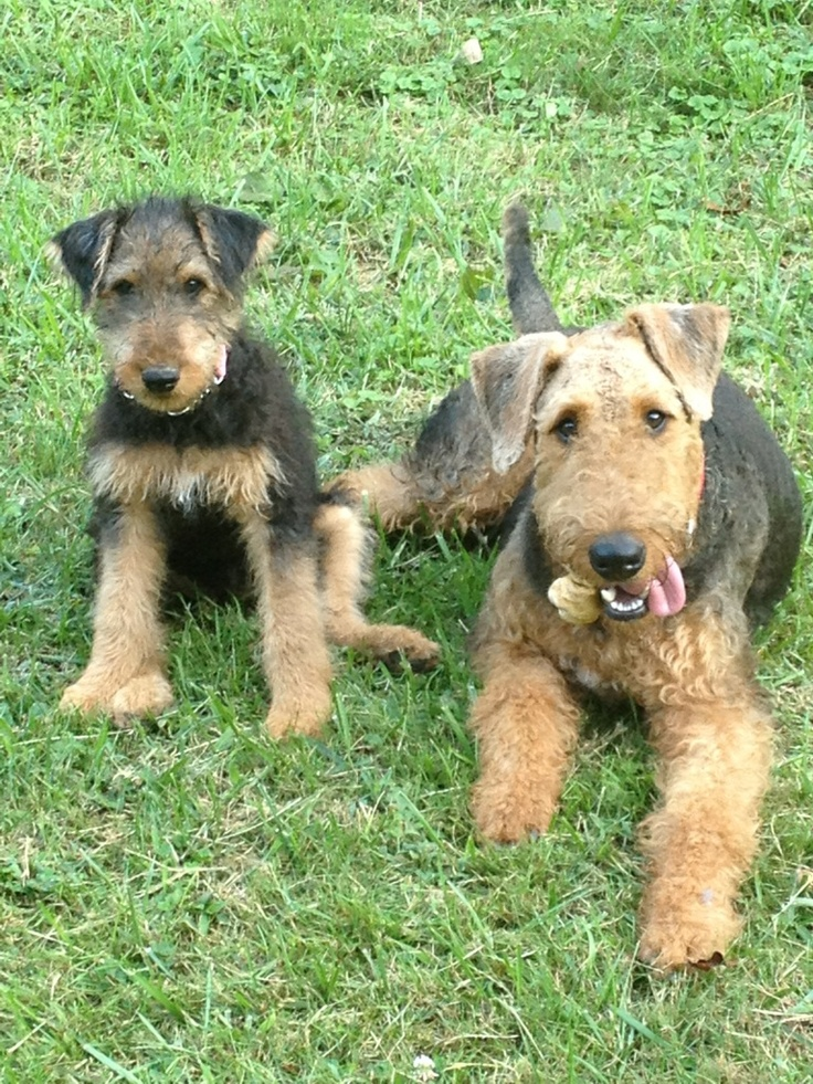 big terrier 133 best images about airedale terrier on pinterest 7754