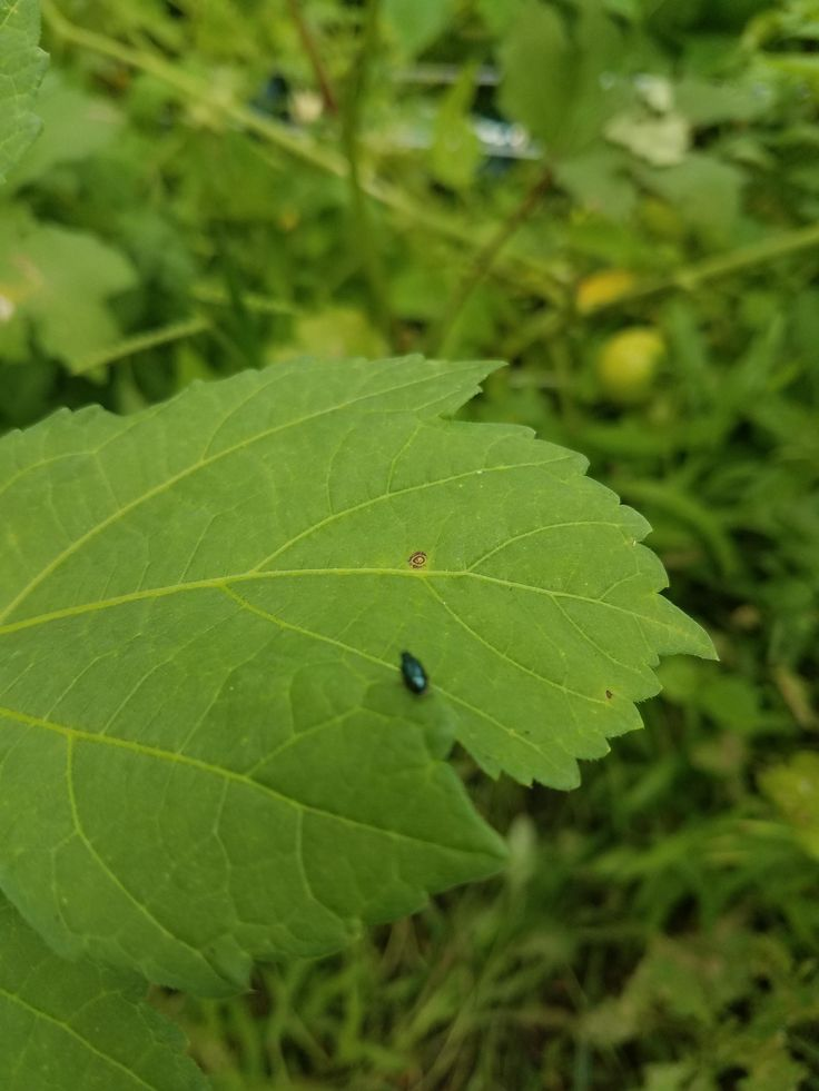 What is this bug? Tons of them swarming my okra.