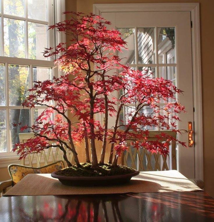 Japanese Red Maple Bonsai in Autumn