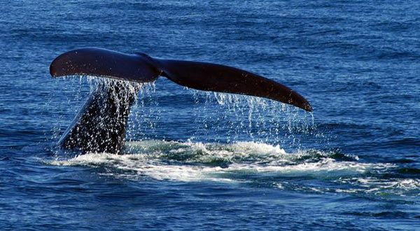 Whale-watching on the Bay of Fundy, Campobello Island, New Brunswick Canada