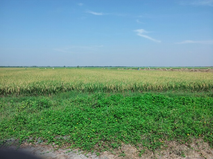 Field rice and beautiful blue sky.