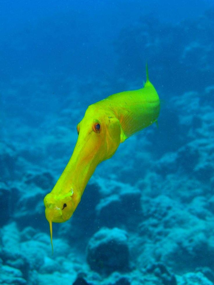Trumpet fish red sea deep ocean to beach pinterest for Red sea fish