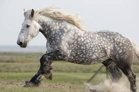 A grey perchon horse