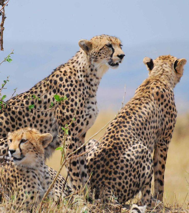 Les 14 meilleures images du tableau savane sur pinterest - Animaux savane africaine ...
