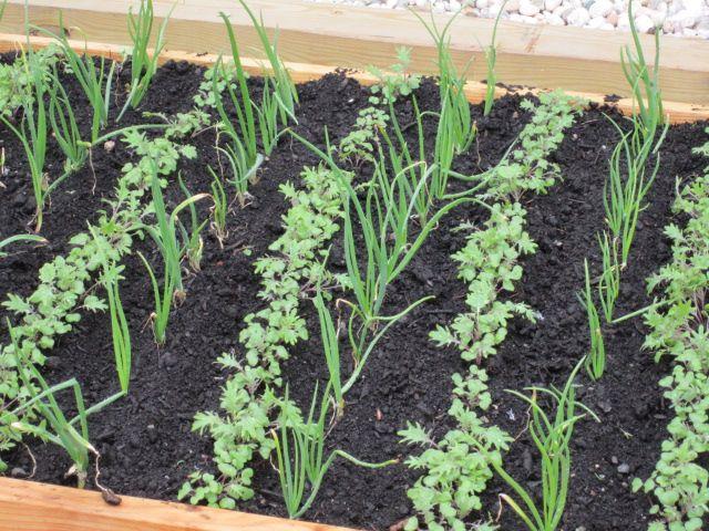 Descubre lo b sico en asociaci n de cultivos y presume de for Asociacion de hortalizas