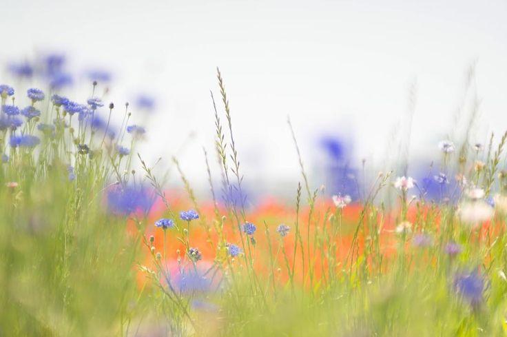 もう、ほら♪ 夏の陽射し✨ #花 #flower #flowers #flowerstagram #flowerslovers #photo #photography #spring #オールドレンズ #oldlens #カメラ女子 #japan #ボケ #nature #naturelovers #bokeh #bokeh_love #poppy #poppyflower #ポピー #幸せ #happy #atomlens #takumer #bonheur #夢 #初夏 #cute #矢車草 #cornflower http://gelinshop.com/ipost/1519292526443742967/?code=BUVnIDUlcb3