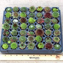 Sempervivum (Hens and Chicks) 49 Plug Tray - Assorted