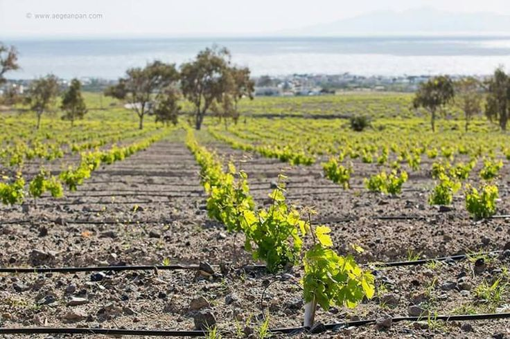A vivid touch of green colour is cooling the unique, volcanic soil of Santorini. The Theran vineyards date almost 3000 years back... At Santorini, even the gastronomical history is there to fascinate you! See it for yourself!